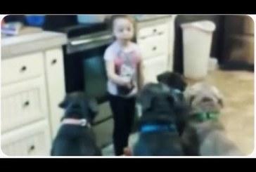 A kislány az orruknál vezeti a vérengző hírében álló pitbullokat!