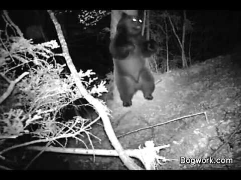 medve az erdőben éjszaka