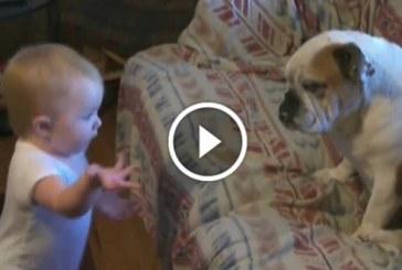 A kisbaba nagyon kiosztja a bulldogot, a kutyus nagyon jól tűri a kiosztást.