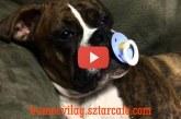 Nézd mi történik miután a boxer kutyus megkapja a cumit – Ez nagyon aranyos!
