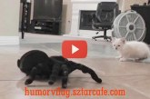 A kiscica és a játékpók találkozása – Nézd meg a cirmos reakcióját!