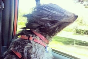 15 vicces kutyus akik igazán szeretik az utazást az autóban