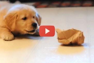 Labrador kiskutya és a papírgalacsin harca – Az anyukája reakciója hatalmas!