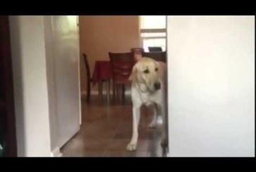 Labrador kutyus halálosan fél az új padlószőnyegtől – Ez nagyon muris, nézd meg!