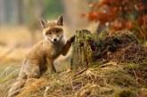 Ezektől a rókáktól elolvadsz! – Képek