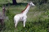"""Nézzétek meg a világ egyetlen """"sápadt"""" zsiráfját – Képek"""