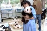 Ez a világ legjobb állása: babypanda felvigyázó!