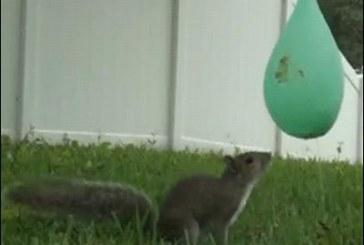 A mókus első találkozása a vízibombával