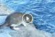 Elképesztő, ahogy ez a cica kifogja a tengerben úszkáló méretes halat! – Videó