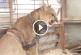 Szívbemarkoló, ahogyan ezt a fogságban tartott pumát 20 év után szabadon engedik! – Videó