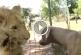 A kutya az oroszlánokhoz megy – Figyeld mi történik a következő pillanatban!