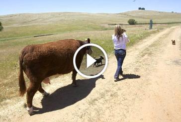 Ilyet még nem láttál, a tehén kutyának képzeli magát! – Videó