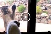 Mit szólnál, ha egy puma kopogtatna az ablakon? – Videó