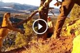 Csapdába esett a puma, de nézd mit tesz a két bátor férfi! – Szívszorító felvétel