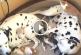 Szívmelengető, ahogy ez a dalmatapár nevel 5 árva kiscicát! – Videó