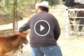 Egész héten át a borja után sírt a tehén – Figyeld mi történik, amikor újra meglátja!