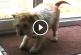 Még az emberek is tanulhatnának néhány dolgot ettől a bámulatosan okos kiskutyától! – Videó