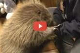 Ez lesz a legédesebb, amit ma látni fogsz: a kis kúszósül kutyusnak hiszi magát! – Videó
