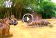 Kis tigrisek először úsznak – Nézd, milyen ügyesek!