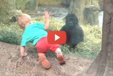 Kisgyerek és gorillakölyök játszani kezdenek egymással! Hihetetlen édesek! – Videó
