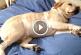 Nem bírod ki nevetés nélkül végignézni, ahogy ezek a kutyusok lustálkodnak! – Videó