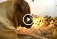 Nézd milyen imádnivalóan gondoskodik ez a kutyus 200 kiskacsáról! – Videó