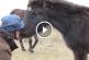 Ilyen megható videót még nem láttál! Szabadon engedik a láncon tartott vadlovat! – Videó