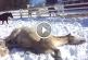 Hihetetlenül édes ahogy a lovak játszadoznak a hóban! – Videó