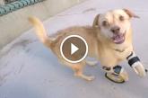 Borzasztóan megható, ahogy ez a kutyus először jár a lábprotézisének köszönhetően! – Videó