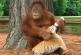 Orángután bébiszittere az árva tigriseknek – Ha nem látom, nem hiszem el!