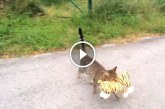 Eszméletlen aranyos, ahogy ez a cica ellopja a plüssálltot! – Videó