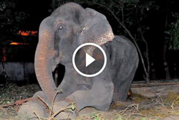 50 év után sírva szabadult meg láncaitól az elefánt! Szinte hihetetlen… – Videó