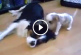 Imádnivaló ahogy a kölyök kutyus játszani szeretne az anyukájával! – Videó