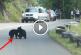 Az úton játszó medvebocsok állították meg a forgalmat