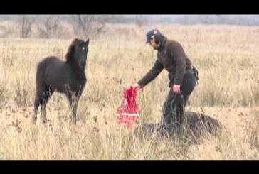 Láncon tartották a vad lovat – Figyeld, hogy reagál miután megszabadították tőle!