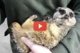 Egy kis szurikáta röhögőgörcsöt kapott, Te sem bírod ki nevetés nélkül! – Videó