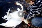 Az összegabalyodott hattyúk egészen elképezstő dolgot tettek! – Videó