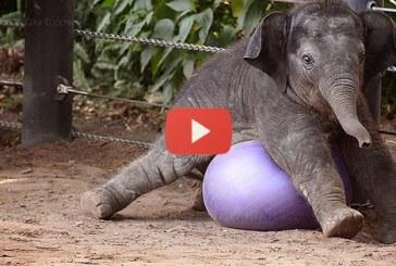 Eszméletlen cukik ezek a kis esetlen elefánt kölykök! Ezt látnod kell! – Videó