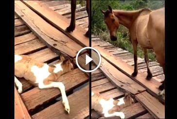 A kiscsikónak beragadt a lába a fahídon, ami ezután történt rendkívül megható! – Videó