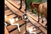 Az anya ló kétségbeesetten nézte, hogy a csikójának lába beragadt a fahídon
