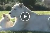 Így örülnek a kis oroszlánkölykök, amikor először találkoznak apjukkal! – Videó