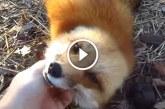 Imádnivaló ahogy a kis róka kimutatja mennyire szereti gazdáját! – Videó
