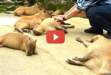 Ez elképesztő, így hajtják álomra a fejüket a vízidisznók a Nagasaki Bio Parkban! – Videó