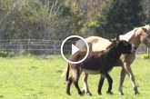 A ló egy szamarat kerget – De figyeld mi történik, amikor utoléri!
