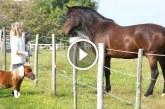 Egy nagyon aranyos törpe ló! – Láttál már ilyen pici pacit?