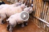 Figyeld milyen aranyos hangot produkálnak az árva kölyök rinók amikor otthagyja őket a gondozó!