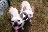 Francia buldog kutyusok kedvenc játéka – Ez biztos mosolyt csal az arcodra!
