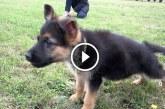 Német juhász kölyök megugatja a kerítés mögött álló kutyákat – Nézd mi történik amikor közelebb megy!