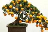 18 elképesztő bonsai gyümölcsfa – Csodálatosan szépek, látni kell