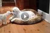 4 napos kecskegida találkozik egy 4 hónapos kutyussal – Figyeld, milyen aranyosak együtt